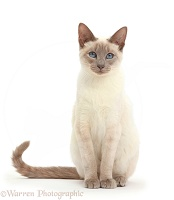 Blue-point Birman-cross cat sitting