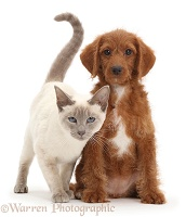 Blue-point Birman-cross cat and Goldendoodle puppy