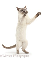 Blue-point Birman-cross cat standing up