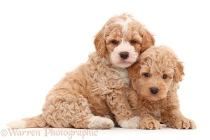 Two F1b Toy Goldendoodle puppies