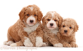 Three F1b Toy Goldendoodle puppies