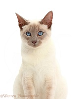 Blue-point Birman-cross cat