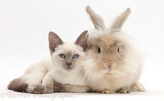 Blue-point kitten with fluffy bunny