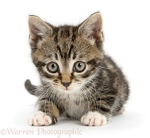 Tabby kitten lying with head up
