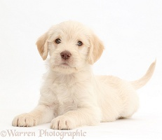 Golden Labradoodle puppy