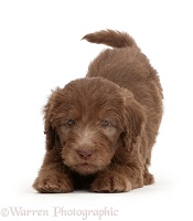 Chocolate Labradoodle puppy in play-bow stance