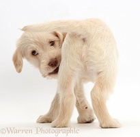 Golden Labradoodle puppy turning round