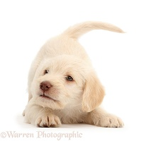 Golden Labradoodle puppy in play-bow stance