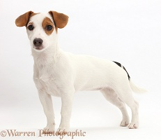 Jack Russell Terrier puppy standing