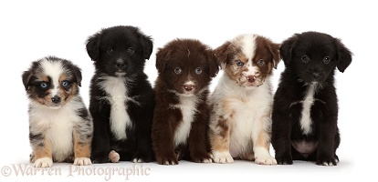Five Mini American Shepherd puppies in a row