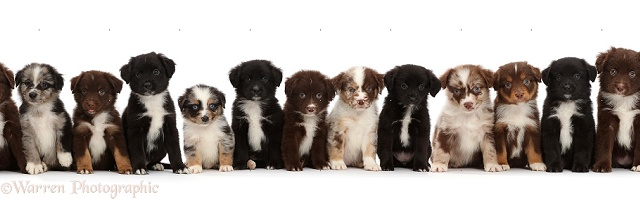 Thirteen Mini American Shepherd puppies in a row