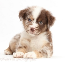 Red merle Mini American Shepherd puppy