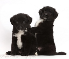 Playful black-and-white Mini American Shepherd puppies