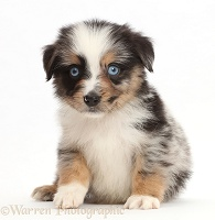 Blue eyed tricolour merle Mini American Shepherd puppy