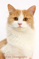 Ginger-and-white Siberian cat
