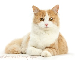Ginger-and-white Siberian cat lying with head up