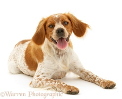 Brittany Spaniel dog lying, head up