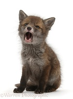 Red Fox cub with open mouth