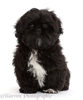 Black Shih-tzu sitting