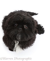Black Shih-tzu sitting and looking up