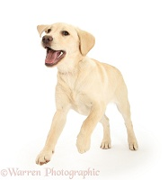 Yellow Labrador pup, 5 months old, leaping forward