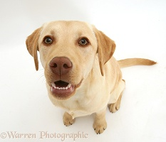 Young yellow Labrador Retriever
