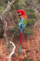 Green-winged Macaw preening