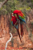 Green-winged Macaws kissing