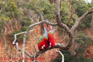 Green-winged Macaws mating
