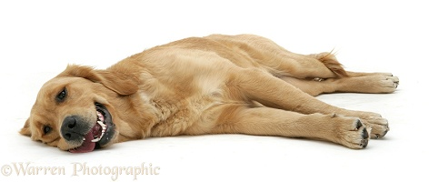 Golden Retriever lying