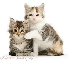Calico and tabby Maine Coon kittens
