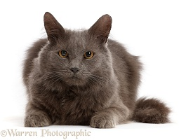 Shaggy grey cat
