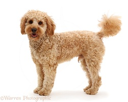 Cockapoo dog