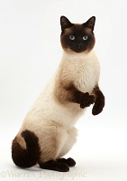 Chocolate point cat standing up