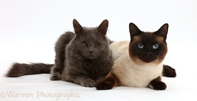 Chocolate point and shaggy grey cats