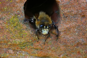 Hairy-footed Flower Bee looking out form hole in brick wall 1