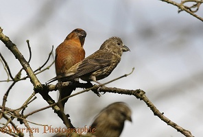 Crossbill pair