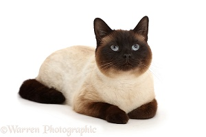 Chocolate point cat