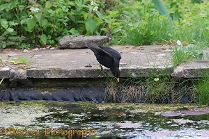 Blackbird fishing for newts in a pond