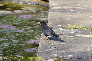 Male blackbird on the lookout for newts in a pond