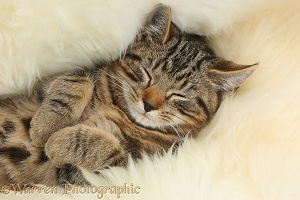 Tabby kitten sleeping on a fluffy rug
