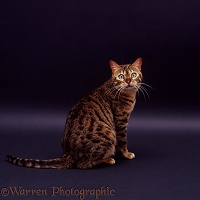 Brown spotted Bengal cat sitting