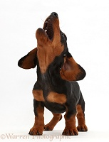 Black-and-tan Dachshund puppy barking at the sky