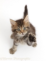 Fluffy tabby kitten looking and reaching up
