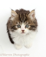 Fluffy tabby-and-white kitten looking up