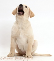 Cheerful Yellow Labrador Retriever puppy
