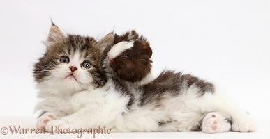 Fluffy tabby-and-white kitten with baby guinea-pig
