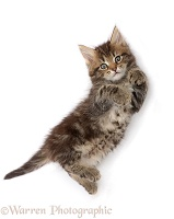 Fluffy tabby kitten lying on back and looking up