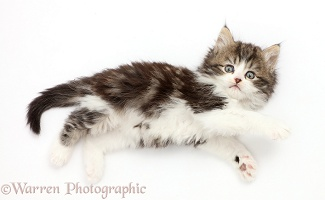 Fluffy tabby-and-white kitten lying stretched out and looking up