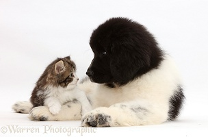Kitten looking into the eyes of Newfoundland puppy
